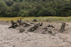 Dead Tree Stumps Royalty Free Stock Image