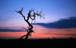 Dead tree at sunrise. Dead tree silhouette against a morning sunrise royalty free stock photography