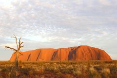 Dead tree and sunrise colors of Uluru Ayers Rock at dawn Royalty Free Stock Photo