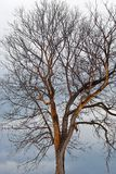 Dead tree at sunset royalty free stock images