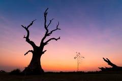 Dead tree at sunset Mandalay , Myanmar. Choose subject have interest shape stock photos