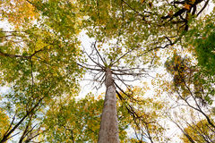 Dead tree surrounded by yellow green autumn maples Stock Photos