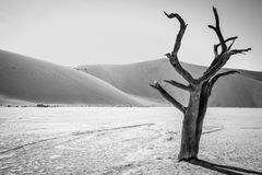 Dead tree in Sussusvlei in black and white. Dead tree in black and white in Sossusvlei desert in Nambia Royalty Free Stock Photography