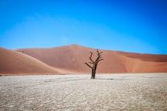Dead tree in Sussusvlei desert. Dead tree in Sossusvlei in Namibia Stock Image