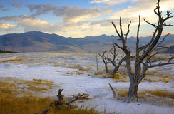 Dead Tree on Terrace at Sunrise. Dead tree on terrace of Mammoth Hot Spring at sunrise - Yellowstone National Park (tree on right royalty free stock images
