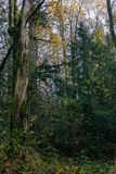 Dead tree in thriving forest. Dead tree sticking out of green forest undergrowth below a overcast sky Stock Photography