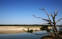 Dead Tree in Tidal Marsh. Dead Tree at the edge of a Tidal Marsh at low tide royalty free stock photo