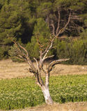 The Dead Tree on a Tobacco Field Stock Image