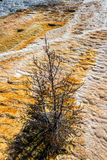 Dead Tree on a Travertine Terrace Royalty Free Stock Photography