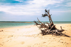 Dead tree trunk on beach Royalty Free Stock Images