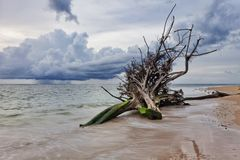 Dead tree trunk on beach stock photography