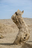 Dead tree trunk in the Gobi Desert Royalty Free Stock Photography