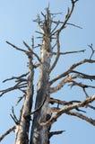 Dead trees against blue sky Royalty Free Stock Photos