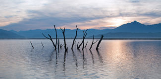 Dead tree trunks and branches poking out of drought stricken Lake Isabella at sunrise in the Sierra Nevada mountains in Central Ca Royalty Free Stock Photos
