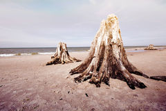 Dead tree trunks in Slowinski National Park. Royalty Free Stock Photo