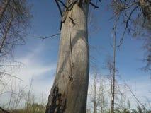 Dead tree under blue sky stock photo