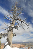 Dead tree under snow in Bryce Canyon Royalty Free Stock Image