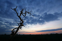 Dead Tree View. A morning sky before sun rise with a dead tree silhouette stock image