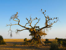 Dead tree with vultures Stock Photography