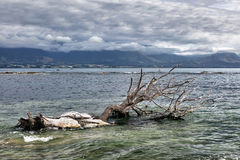 Dead tree in the water at Kiakoura Bay Stock Photos