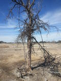 Dead Tree in West, Texas. Royalty Free Stock Photography