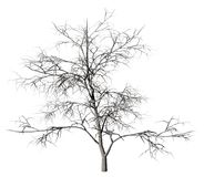 Dead tree on a white. Royalty Free Stock Photo