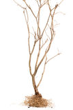 Dead tree on White background Royalty Free Stock Photography