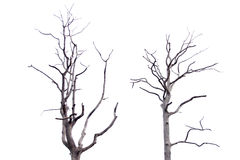 Dead tree on white background. Stock Image