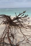 Dead tree at White Sand Beach Royalty Free Stock Photo