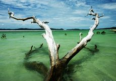 Dead tree in the Whitsunday Islands Stock Photo