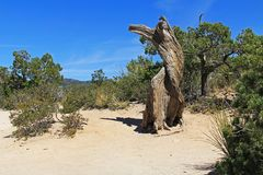 Dead Tree on Windy Point Vista on Mt. Lemmon. Weathered dead Tree, Windy Point on Mount Lemmon in Tucson, Arizona, USA in the Santa Catalina Mountains located in Royalty Free Stock Photography
