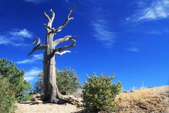 Dead Tree on Windy Point Vista on Mt. Lemmon. Weathered dead Tree, Windy Point on Mount Lemmon in Tucson, Arizona, USA in the Santa Catalina Mountains located in Stock Photography