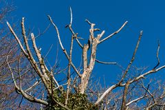 Dead tree in winter against a brilliant blue sky. In Sussex stock photos