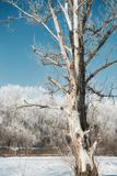 Dead tree in winter forest, blue sky and white snow, beautiful wild landscape Stock Images