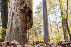 Dead tree in wood. Attacked by termite Royalty Free Stock Photography