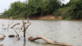 Dead tree wood in river. Dead tree wood in river, HD Clip stock video footage