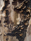 Dead tree wood texture. Wood dead tree texture pattern Royalty Free Stock Photos