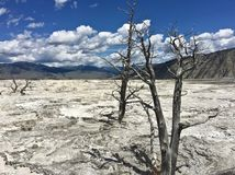 Dead tree at Yellowstone national park royalty free stock image