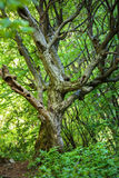 Dead tree in a young forest Royalty Free Stock Image