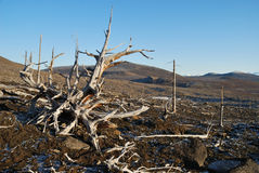 The dead trees Stock Image
