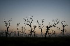 Dead Trees. Silhoutte at sunrise Royalty Free Stock Photo