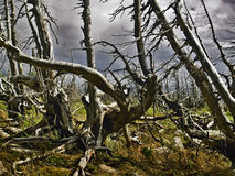 Dead trees. Trees after fire,trees after fires and natural disasters royalty free stock image