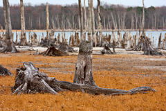 Dead Trees. In the forest near a lake with low water levels. Sharp focus is on dead tree stumps in the foreground with an OOF background Royalty Free Stock Images