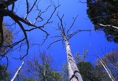 Dead Trees. Against a Brilliant Blue Sky royalty free stock photos