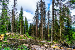 Dead trees affected by the Pine Beetle Stock Photo