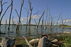 Dead trees along shoreline Royalty Free Stock Photos