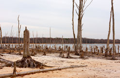 Dead Trees Around a Lake. Dead Trees in the forest around a lake with low water levels Stock Images