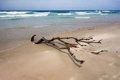 Dead trees on the beach. With a cloudy sky Royalty Free Stock Photo