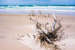 Dead trees on the beach. With a cloudy sky Stock Photos