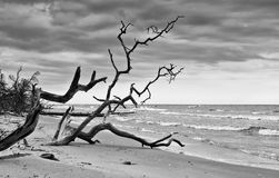 Dead trees on the beach in Latvia Royalty Free Stock Photos